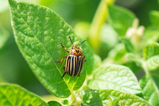 Um grande besouro da batata do colorado repousa sobre uma folha de um arbusto de batata