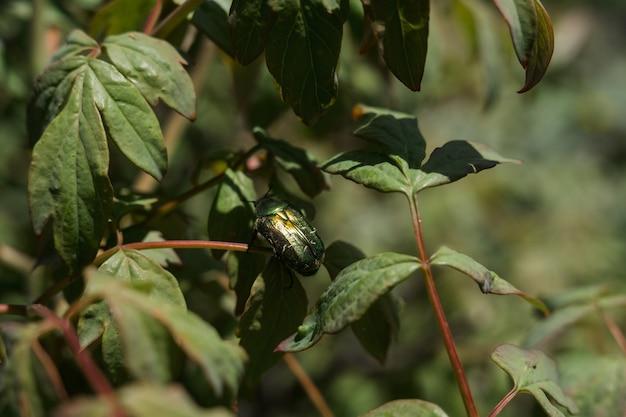 Um grande besouro verde nas folhas verdes dos arbustos