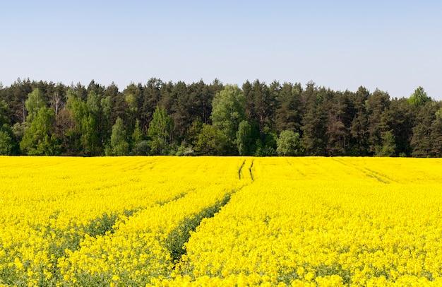 Um grande campo com flores amarelas de colza, no campo avistam-se os sulcos do trator