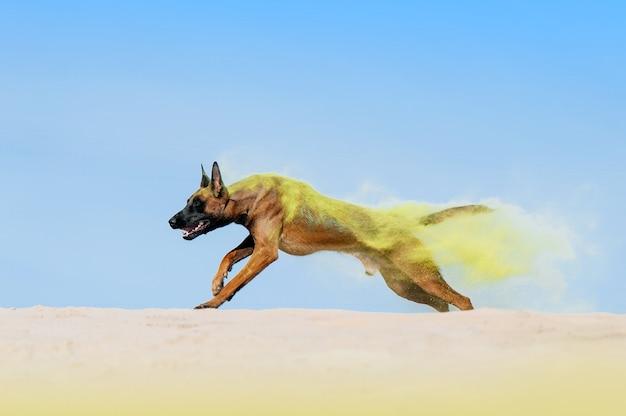 Um grande cão da raça malinois corre na areia, dispersando os grãos de areia. cachorro com tinta amarela holi
