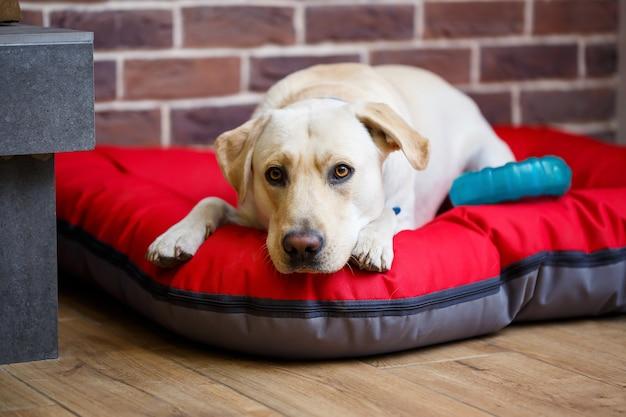 Um grande cão de pelagem labrador de cor clara deitado sobre uma ninhada vermelha