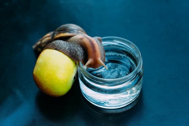 Um grande caracol se apoia em uma maçã e sobe em um pote com água. ahatina está em uma sala em uma superfície azul