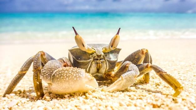 Um grande caranguejo rastejou em uma praia de areia branca em um dia ensolarado nas maldivas.