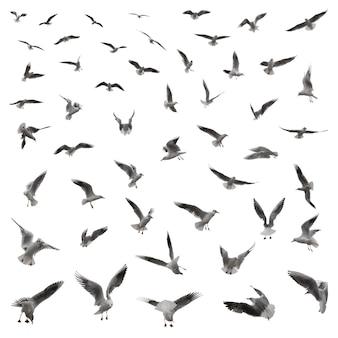 Um grande conjunto de 55 gaivotas em várias poses isoladas em um fundo branco