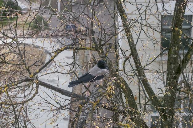 Um grande corvo está sentado em um galho velho. outono primavera