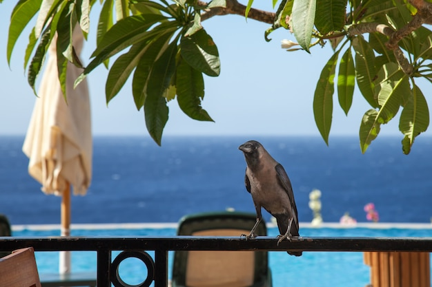Um grande corvo negro senta-se em uma cerca