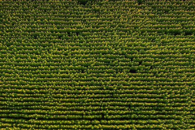 Um grande e belo campo de girassóis vista do alto do vôo dos pássaros