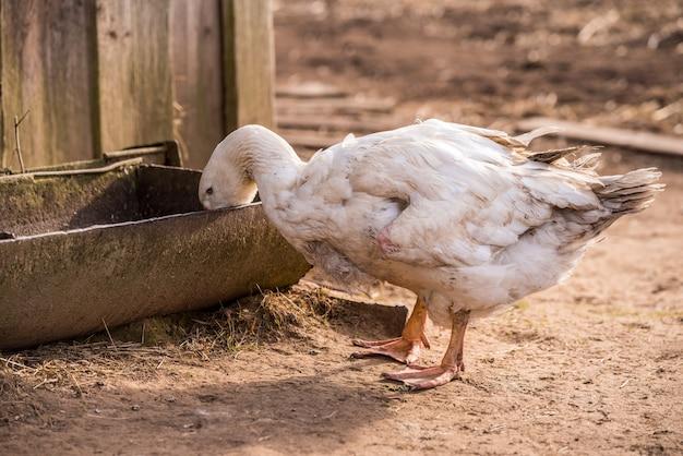 Um grande ganso branco bebendo água de um cocho na fazenda do quintal.
