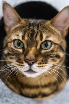 Um grande gato doméstico da raça savana ou de bengala em uma cama de gato.