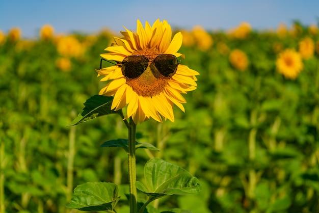 Um grande girassol fica no campo com óculos de sol no verão