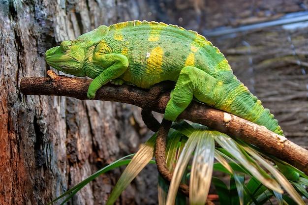 Um grande lagarto verde-limão com manchas amarelas, como um camaleão ou iguana, encontra-se em um galho. folhas grandes da planta. foco seletivo.