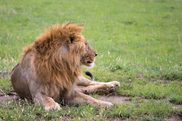 Um grande leão está deitado na grama na savana do quênia