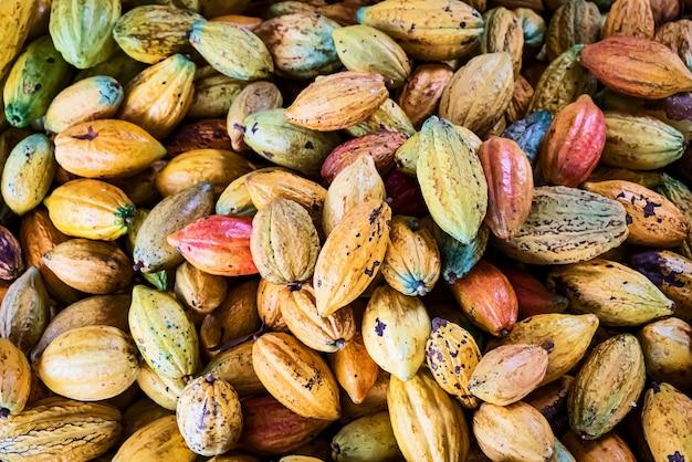Um grande monte de vagens de cacau coloridas. crioulo, forastero, trinitario, diferentes tipos de grãos de cacau recém-colhidos da árvore