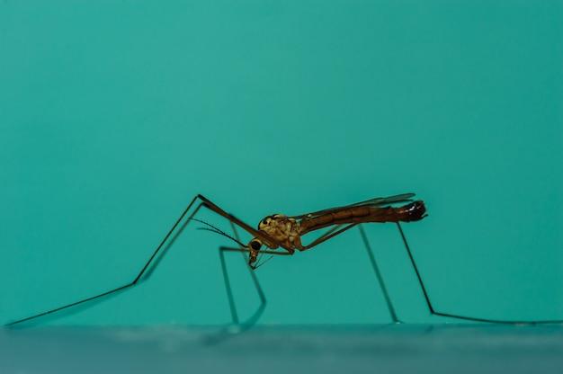 Um grande mosquito em um fundo azul em close-up. macro