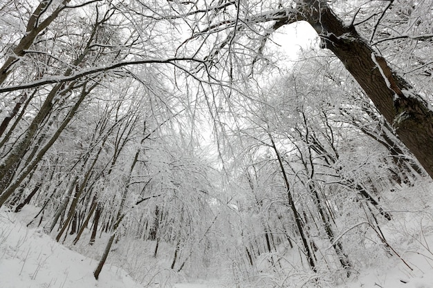 Um grande número de árvores decíduas nuas no inverno, as árvores estão cobertas de neve após geadas e quedas de neve, montes de neve no parque ou floresta de inverno, haverá pegadas na neve