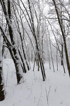Um grande número de árvores decíduas nuas no inverno