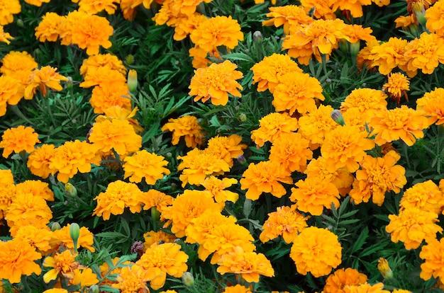 Um grande número de belos malmequeres amarelos floresceu em um canteiro ao ar livre