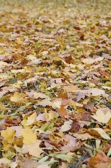 Um grande número de folhas de outono caídas e amareladas no chão
