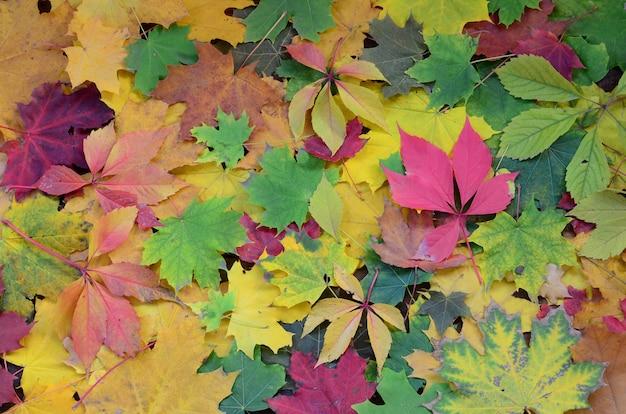 Um grande número de folhas de outono caídas e amareladas
