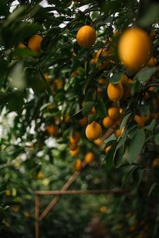 Um grande número de limões na plantação