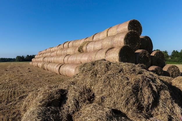 Um grande número de palhas empilhadas de trigo e centeio ao lado, para armazenamento