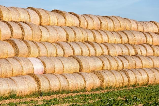Um grande número de pilhas de palha empilhadas umas sobre as outras para armazenamento no inverno