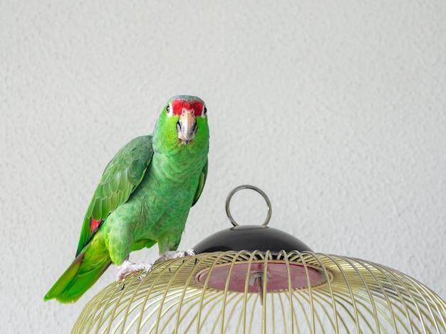 Um grande papagaio verde da amazônia senta em uma gaiola. retrato de um papagaio.