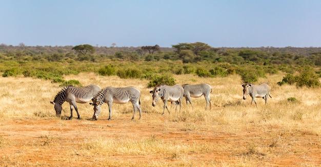Um grande rebanho com zebras pastando na savana do quênia