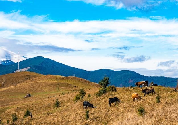 Um grande rebanho de vacas pastam no prado e comem grama, tendo como pano de fundo a bela natureza dos cárpatos