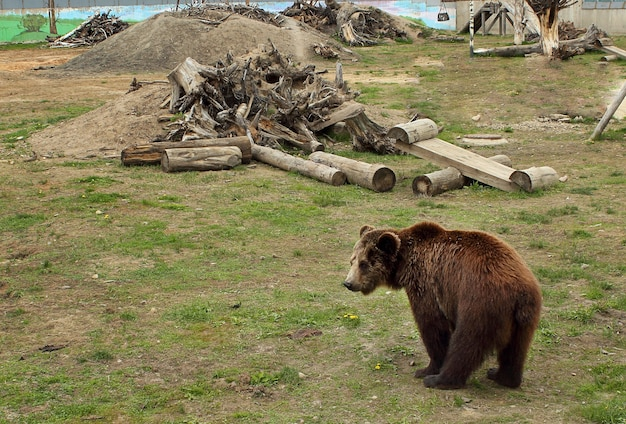 Um grande urso preto no zoológico. grande urso pardo em um zoológico.