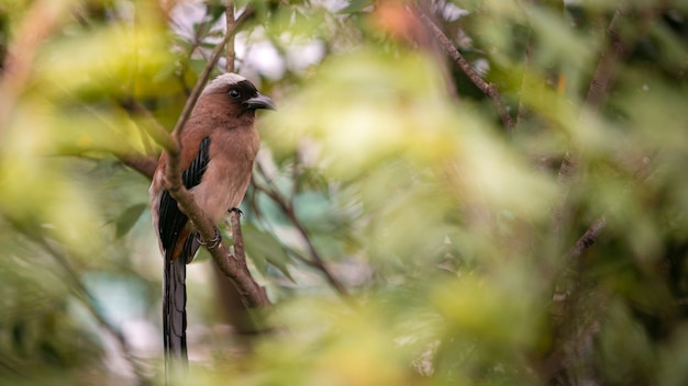 Um grey treepie, também conhecido como o himalayan treepie, descansando e empoleirado no galho de uma árvore de um parque florestal na cidade de taipei. dendrocitta formosae é uma ave onívora de taiwan.