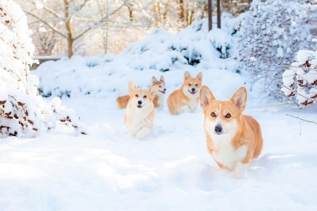 Um grupo de cães corgi galês no inverno no parque