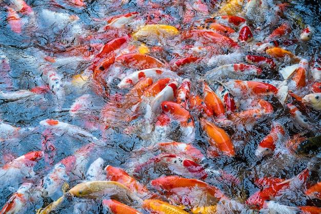 Um grupo de carpas koi ou jinli ou nishikigoi ou brocado - as variedades coloridas da carpa amur ou cyprinus rubrofuscus, mantidas em lagoas de carpas ao ar livre ou em jardins aquáticos em danang, vietnã