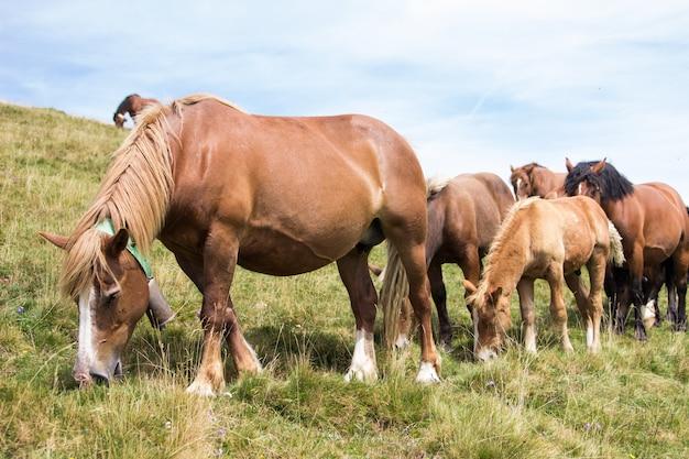 Um grupo de cavalos selvagens pastando juntos nas montanhas