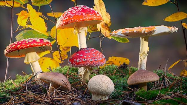 Um grupo de cogumelos venenosos cresce na floresta decídua.