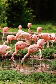 Um grupo de flamingos cor de rosa caçando na lagoa, oásis de verde em ambiente urbano. flamingos no zoológico