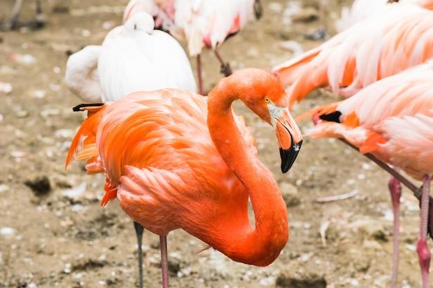 Um grupo de flamingos maiores que andam na água