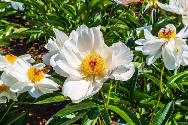 Um grupo de flores brancas e amarelas de paeonia na grama