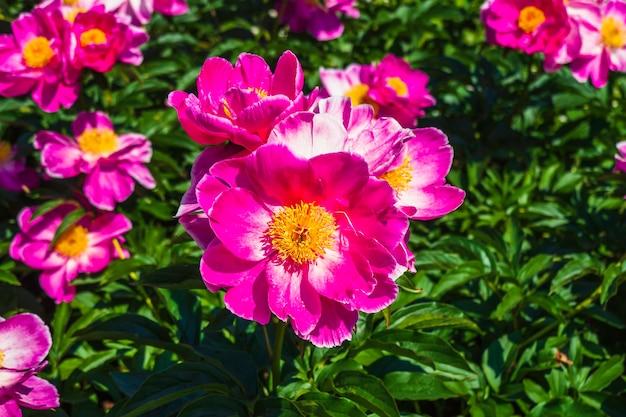 Um grupo de flores paeonia rosa amarelo na grama.