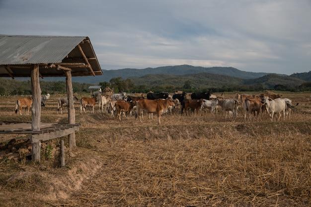 Um grupo de gado no campo de arroz seco, província de nan, tailândia