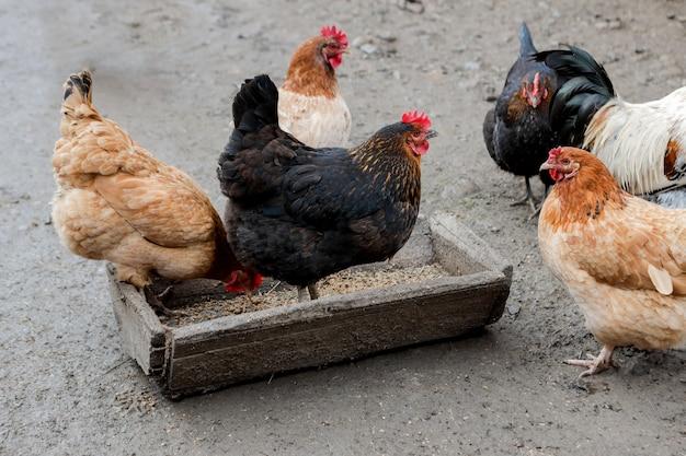 Um grupo de galinhas ao ar livre comendo fora em uma fazenda