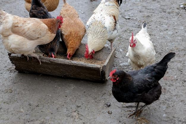 Um grupo de galinhas ao ar livre comendo fora em uma fazenda.