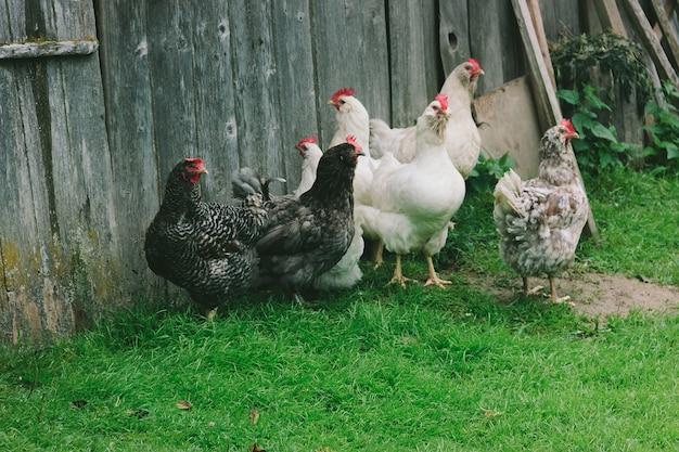Um grupo de galinhas domésticas multi-coloridas fica perto de uma parede de madeira na grama verde em uma vila em uma fazenda. lugar para texto