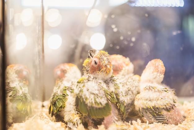 Um grupo de papagaios do bebê estão gritando, linda arara de bebê