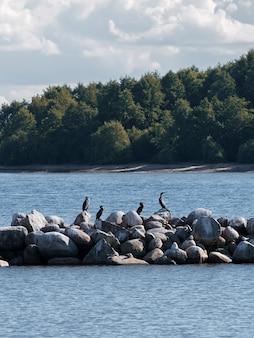 Um grupo de pássaros selvagens, corvos-marinhos, nas rochas do lago ladoga no verão em um dia ensolarado