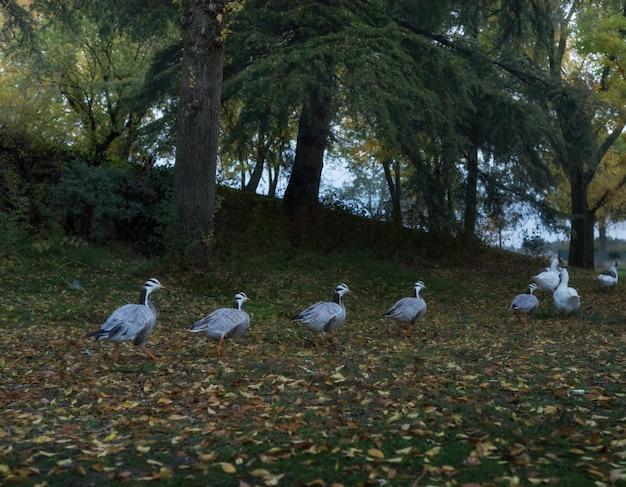 Um grupo de patos em um parque no outono