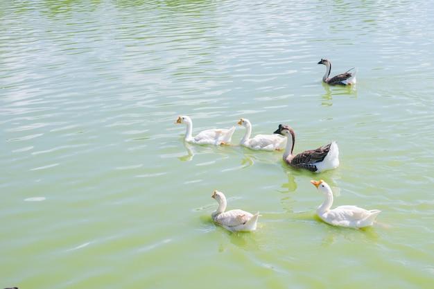 Um grupo de patos flutuando na água