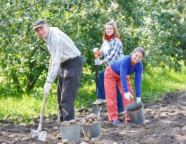 Um grupo de pessoas desenterrando batatas. colhido