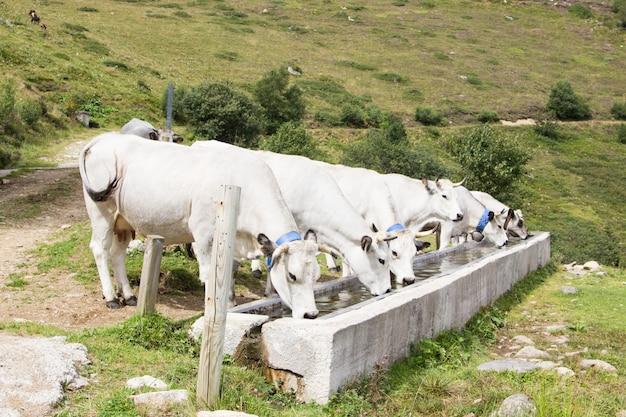 Um grupo de vacas brancas bebendo água em um bebedouro nas montanhas