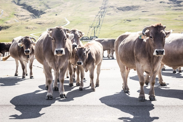 Um grupo de vacas marrons atravessando uma estrada nas montanhas